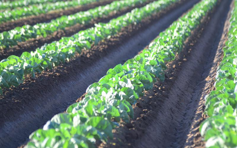 lettuce field in Yuma, AZ