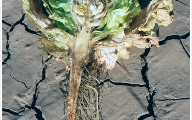 diseased lettuce