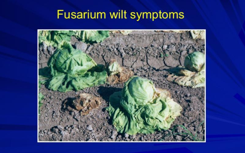 Fusarium Wilt
