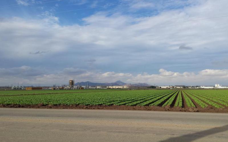 Field crops in Yuma, Arizona