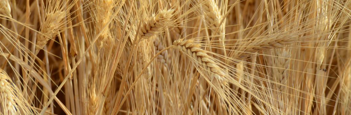 Desert Durum Wheat