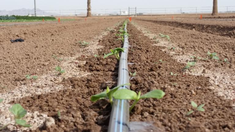 Germination of Year 2 melon field trial