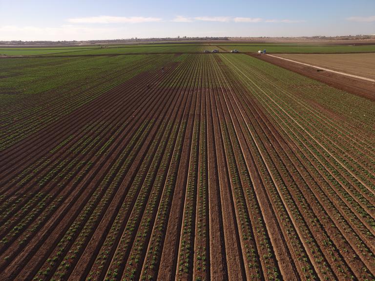 2020 Fusarium wilt of lettuce field trials