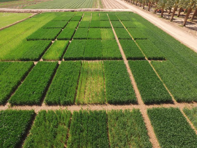 Yuma Valley Nitrogen field trial