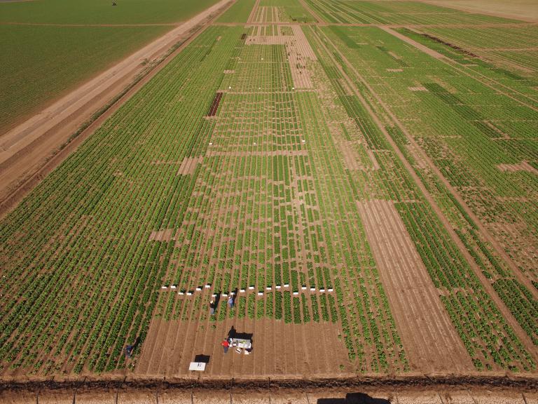 Yuma Fusarium Wilt of Lettuce Field Day