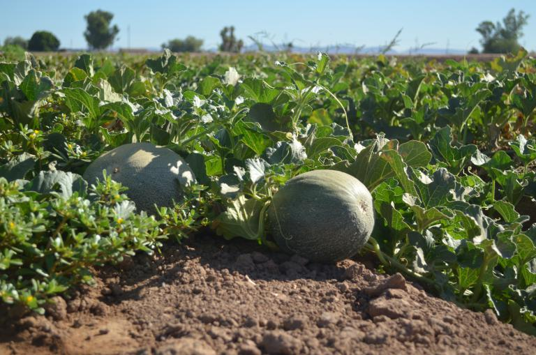 Melon variety growing in Year 3 field trial
