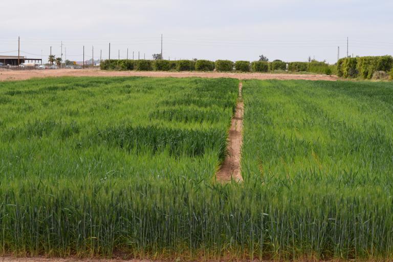 Yuma Mesa Nitrogen field trial