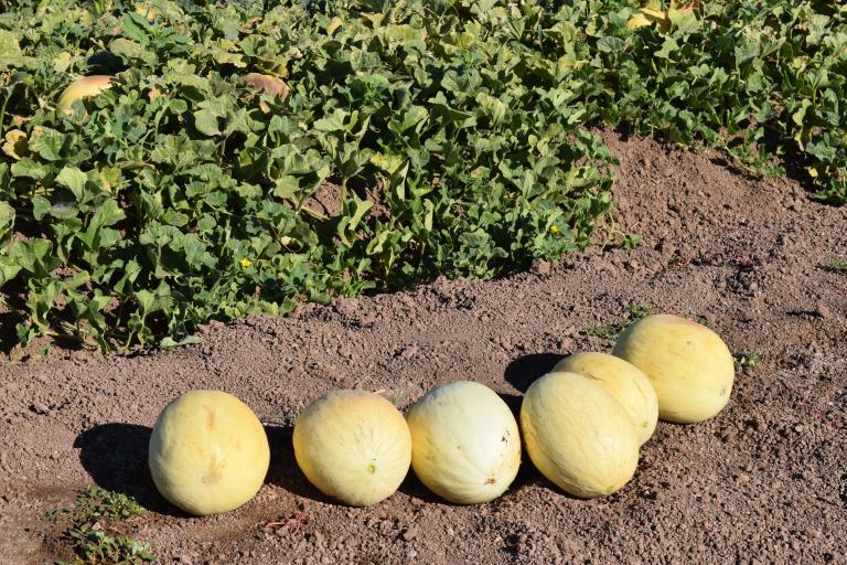 Year 2 harvested melons in the field waiting to be boxed and shipped to labs for analysis