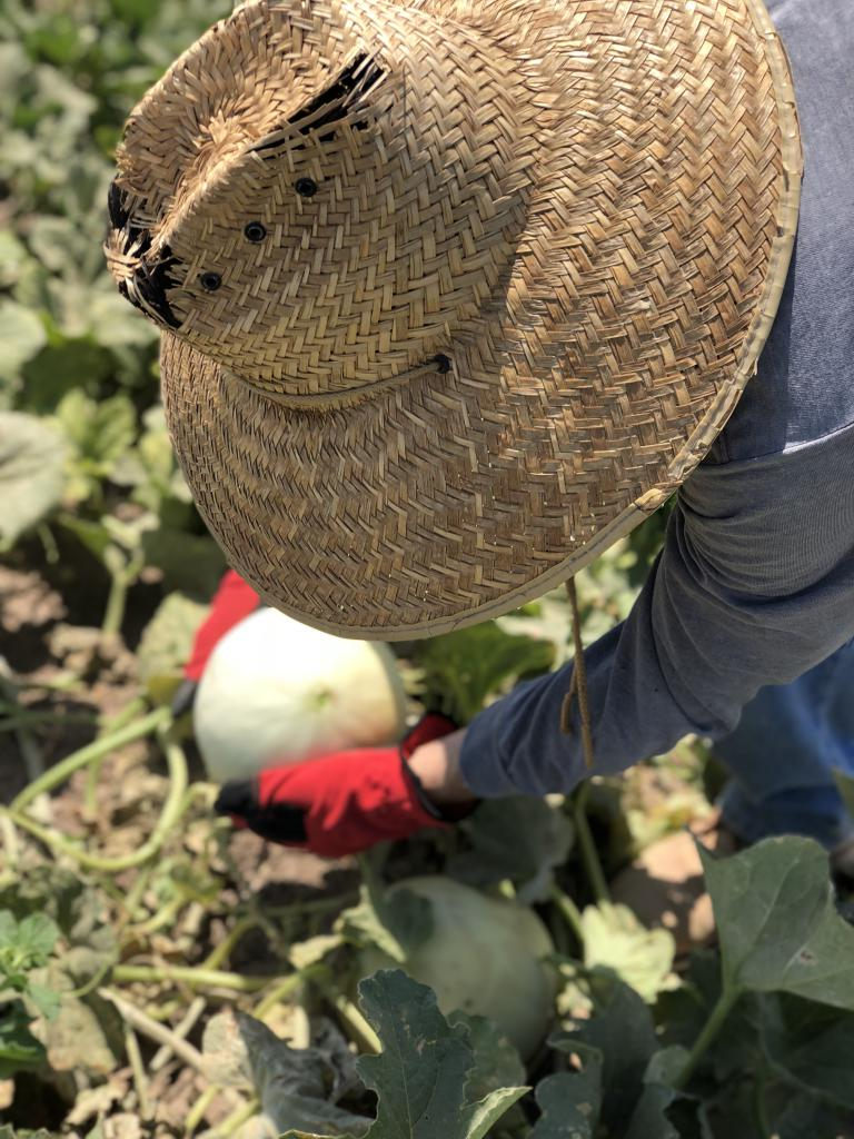 Harvesting Year 1 melons