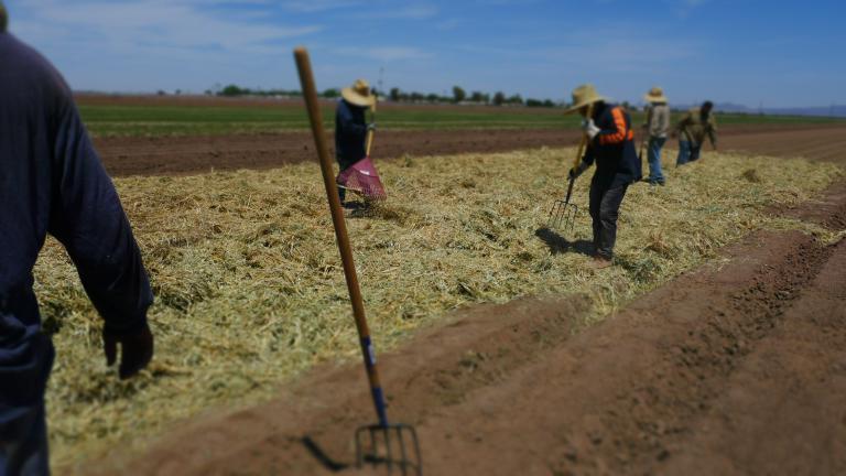 spreading the Sudan grass