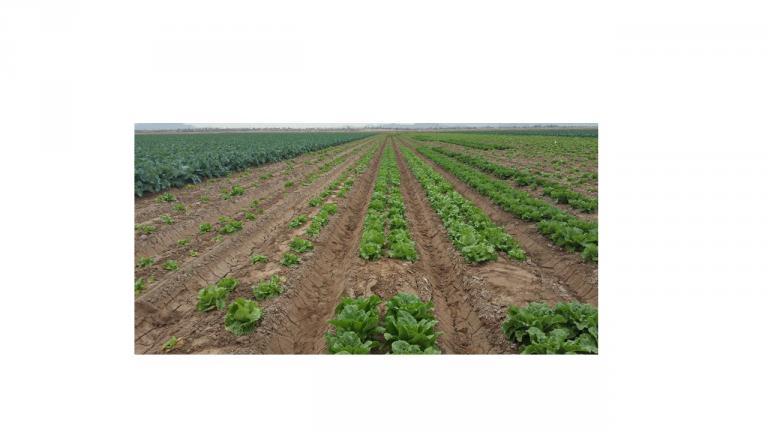 field trials for Fusarium wilt of lettuce